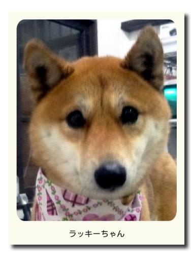 柴犬のラッキーちゃん