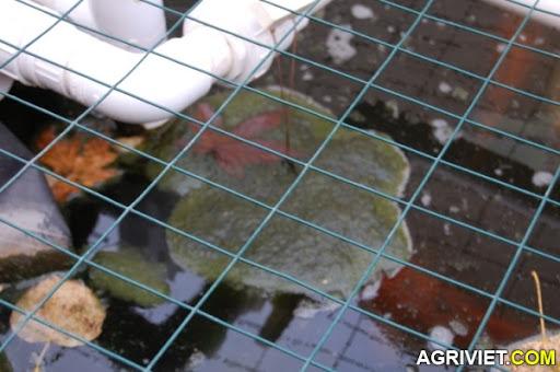 Agriviet.Com-sen-bio-floc2.jpg