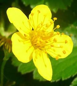 Pragnia syberyjska kwiat