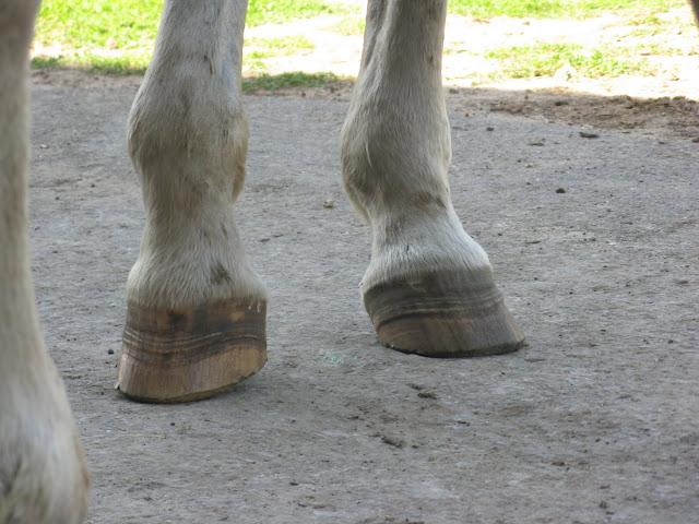 Besoin d'avis et conseils sur les pieds de mon cheval IMG_2153