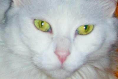 Turkish Angora cat living in Turkey