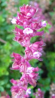 Thymus pulegioides Macierzanka zwyczajna