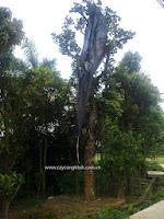 Cây Mít, cây xanh công trình