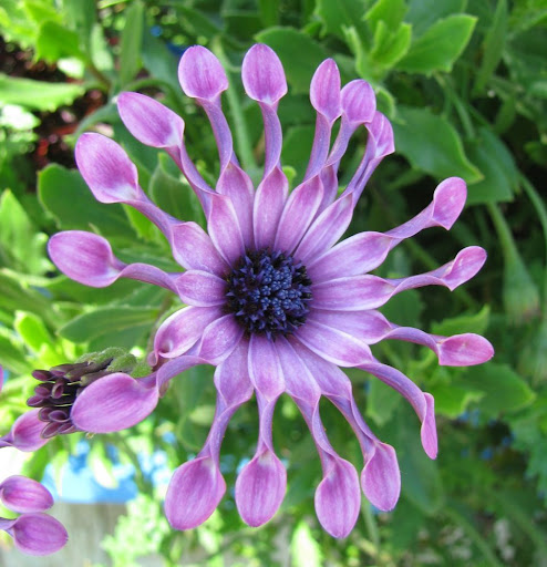 purple daisy-like flower with funny-shaped petals