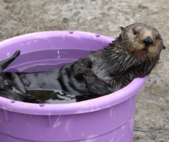 otter in a bucket