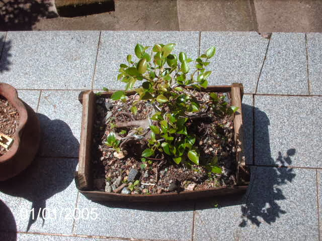 Ficus Microcarpa var. Indica... PICT2534