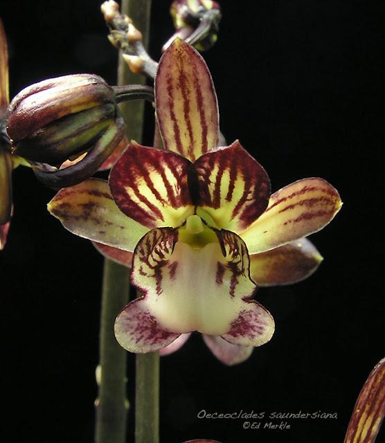 Растения из Тюмени. Краткий обзор - Страница 4 Oeceoclades_saundersiana1B
