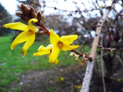 Forsycja pośrednia Forsythia intermedia, kwiat
