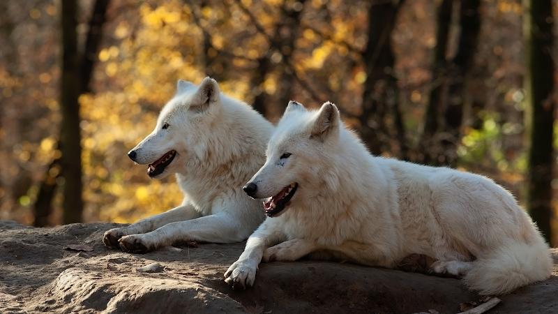 white wolves wallpaper