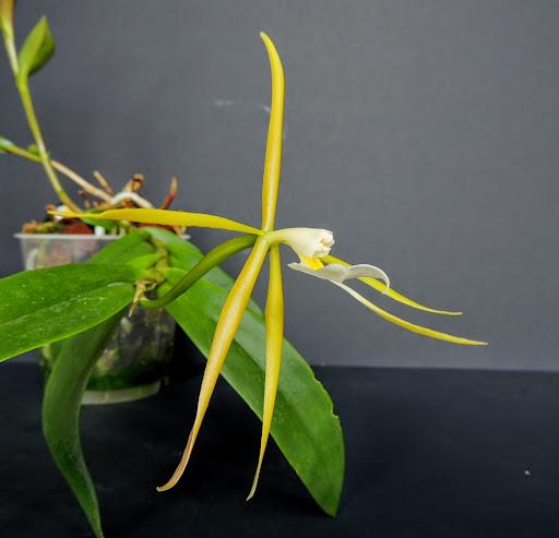 Epidendrum nocturnum DSCN1738