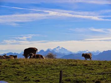Des vaches face au Mont Blanc