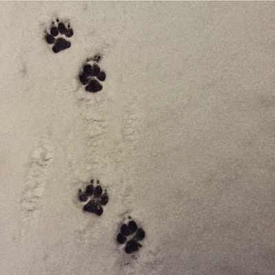 paw prints, snow, Limousin, Creuse, winter, animal paw prints, cairn terriers,