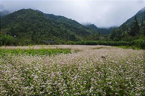 Hoa tam giac mach tai cac dia diem o ha giang Hoa tam giác mạch tại một số nơi ở Hà Giang