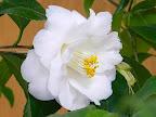 白色 八重 蓮華咲き 鋸歯弁 中輪