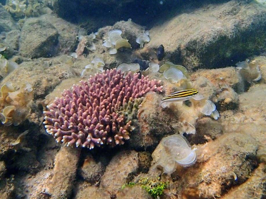 Juvenile Bream, Chindonan Island, Palawan, Philippines.