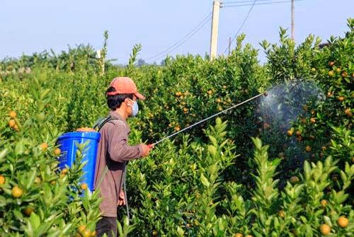 Nhiều người chọn dùng phương pháp phun thuốc trừ sâu để cứu vườn quất.