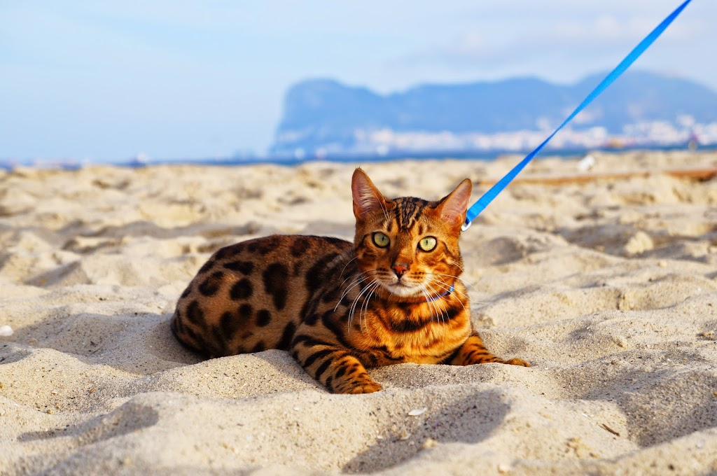 bengal cat on the beach