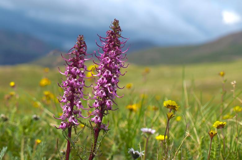 Loveland Pass, wildflowers