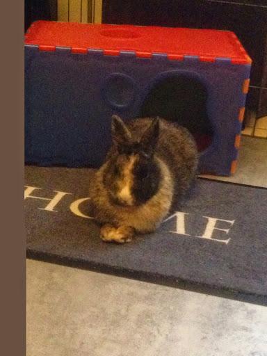 [Adoptée]-Emy-lapine tricolore Emy