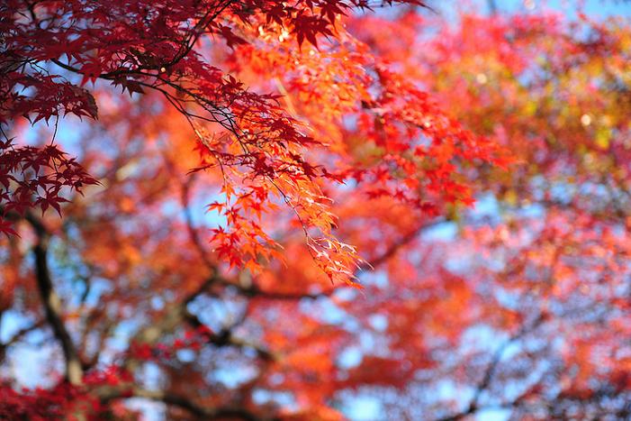 lá mùa thu ở nhật