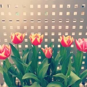 チューリップ栽培 成長日記 育て方