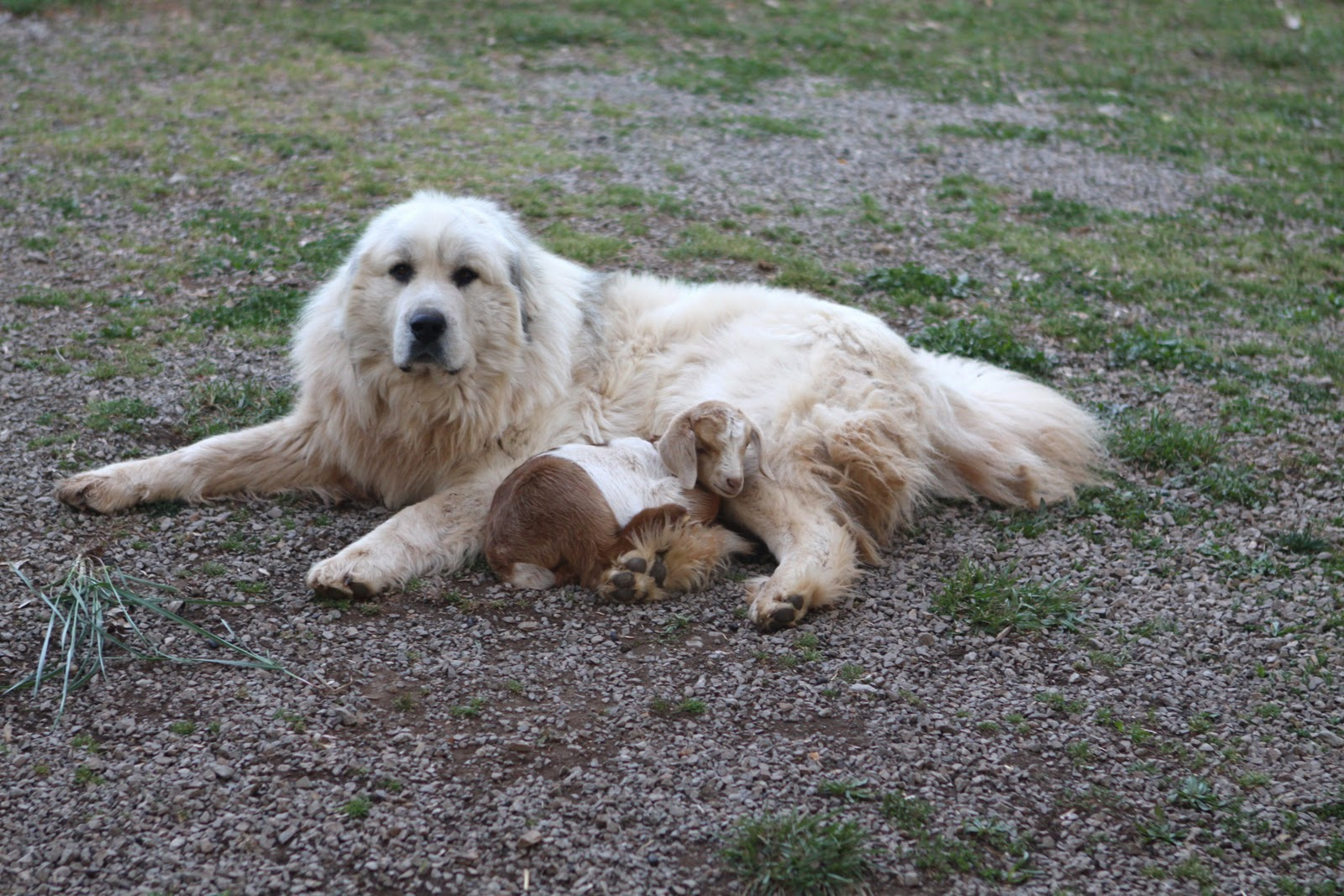 Hilltop Guardian Great Pyrenees: Our Dogs