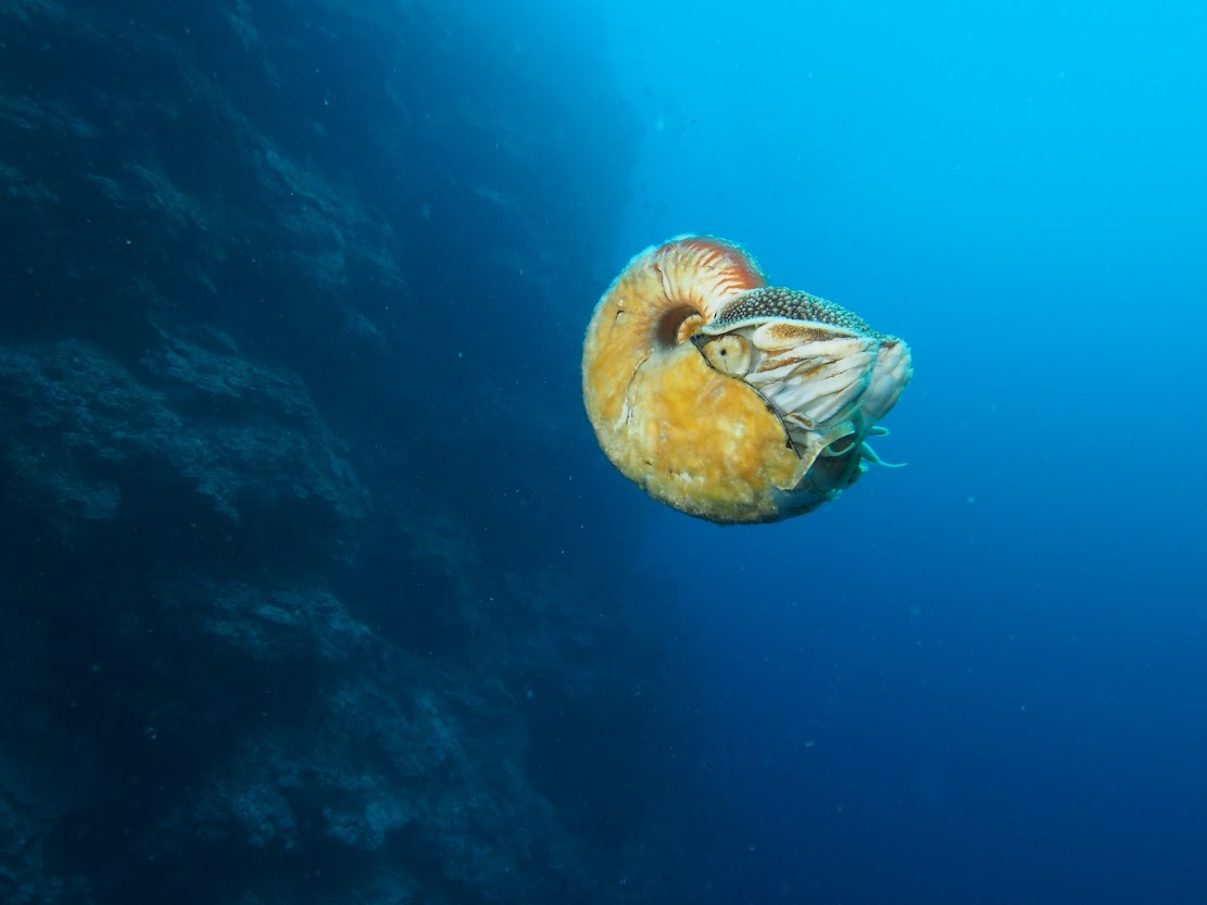 Natural Heritage: Research backs up ongoing efforts to protect the enigmatic Nautilus