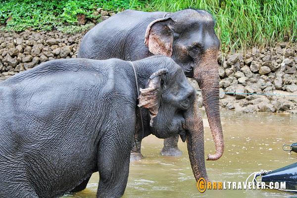 elephants in thailand, elephants in kanchanaburi, elephant bathing kwai river rafts