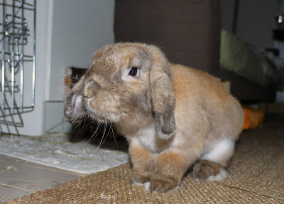 Кролик лижет пальцы