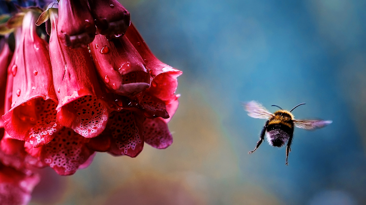 bee and trumpet flower wallpaper, spring