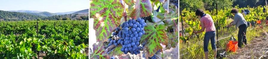 Виноградники и винодельни. В сезон можно самим поучавствовать в сборе винограда, а потом продегустировать молодое вино. Виноградник Керем Бен Зимра, Галилея, север Израиля. Гид в Израиле Светлана Фиалкова.