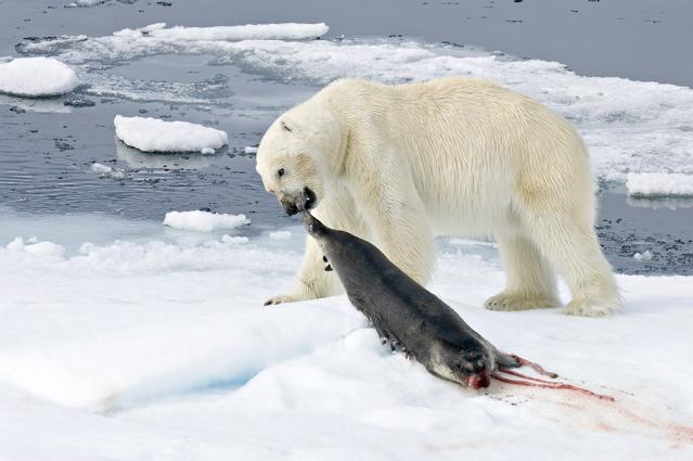 Urso pardo vs Urso polar 140_4