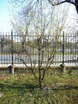 Dereń jadalny podczas kwitnienia Cornus mas flowering