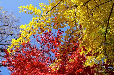 青空に輝く 赤と黄色の紅葉 散りゆく中に愁いなる美しさ