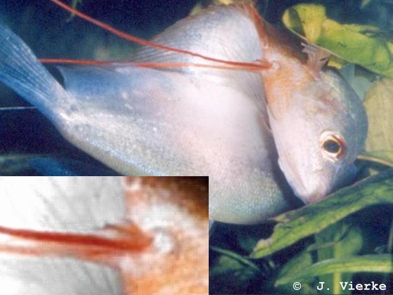 Trichogaster microlepis Paarung. Deutlich zu erkennen, die Weichstrahlen hinter dem Faden!