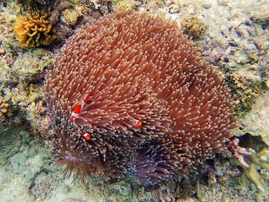 Amphiprion ocellaris</em> (Ocellaris Clownfish) with <em>Heteractis magnifica</em>,   (Ritteri Anemone), Miniloc Island Resort reef, Palawan, Philippines.