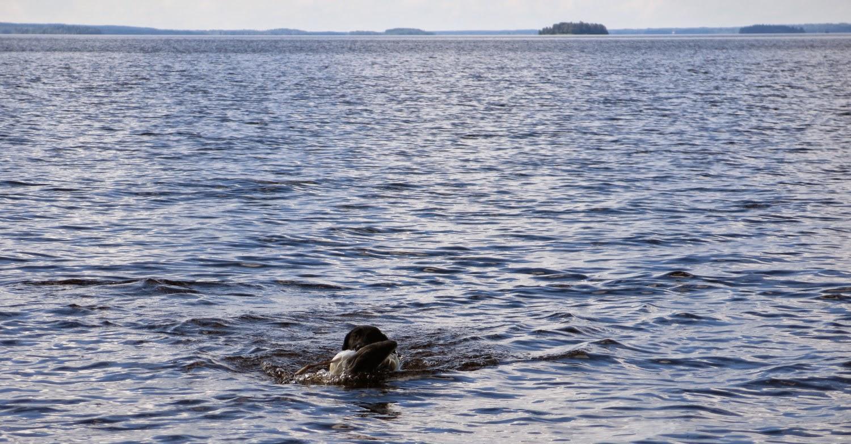 labradorinnoutajan vesityöt