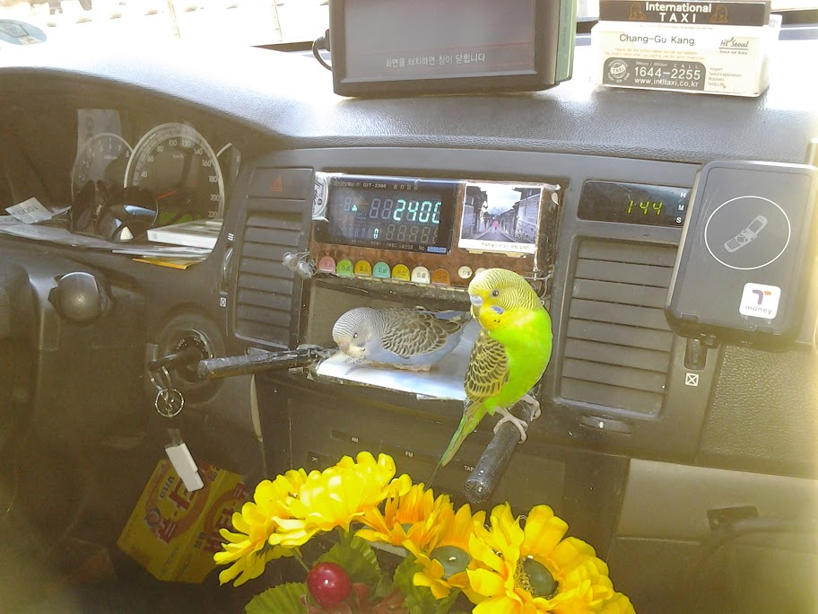 Budgies in a cab