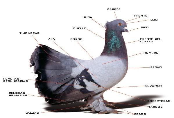 Mis amigas las palomas: Anatomía y algunas características