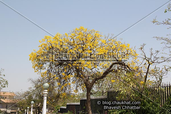 Tree with flowers of yellow hues