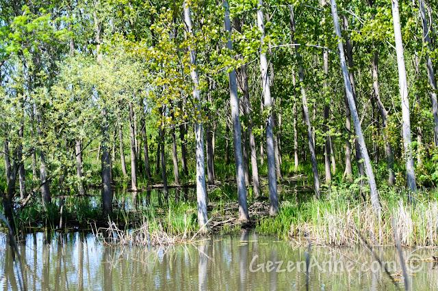 Sakarya, Karasu'daki Acarlar Longozu'ndaki su içindeki orman