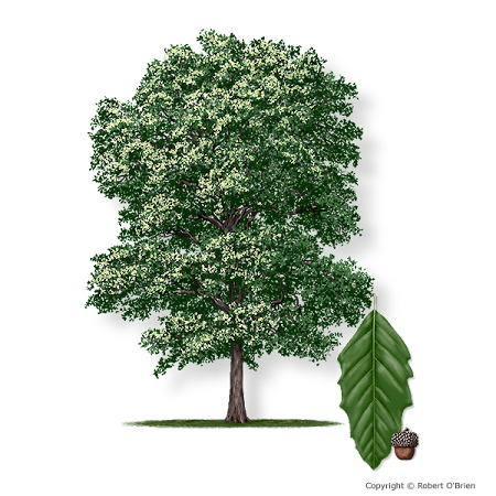 rendering of monterrey oak