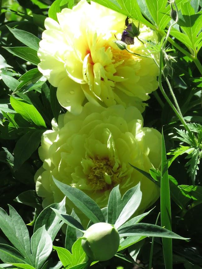 Pivoine dont j'attend la floraison depuis 2 ans IMG_6401