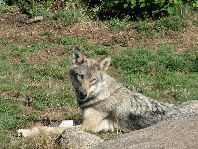 Les Loups de Chabrière PICT0530