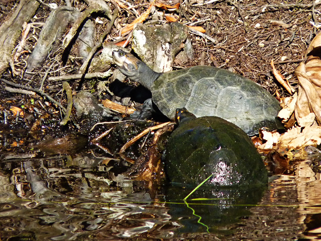 Yellow spotted amazon river turtles