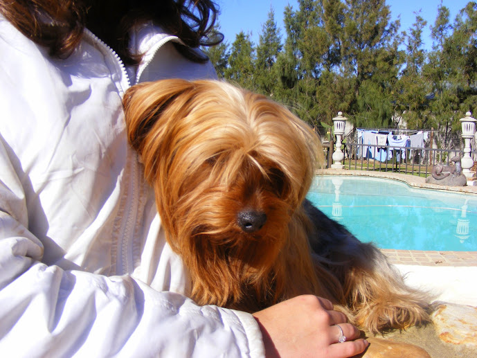 First male yorkie up for adoption - Chaka