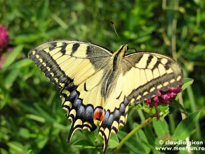 fluture Coada Rândunicii pe o floare de trifoi, Iphiclides podalirius
