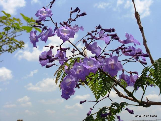 Planta c de casa mar o 2011 for Planta ornamental jacaranda