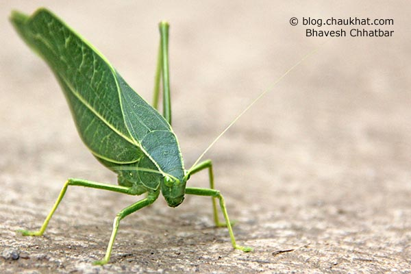 Perspective view of a Green Leaf Grasshopper in simple language. Greater Anglewing Katydid is the real name. Microcentrum rhombifolium is the scientific name. Phylloptera rhombifolia, Orophus rhombifolia, Microcentrum affiliatum Scudder are the synonyms. Tettigoniidae is the species family name.