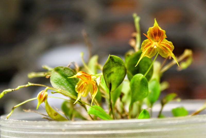 Lepanthes telipogoniflora x filamentosa IMG_0204